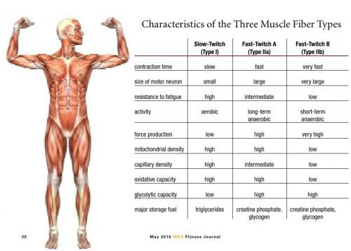 characteristics of the three muscle fiber types