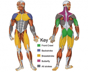 Muscles Used in Backstroke